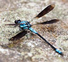 Blue Dragonfly by Jennie Gardiner