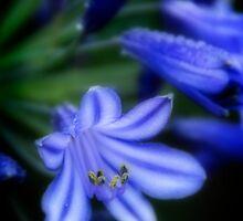 Agapanthus-Blue by Robyn Selem