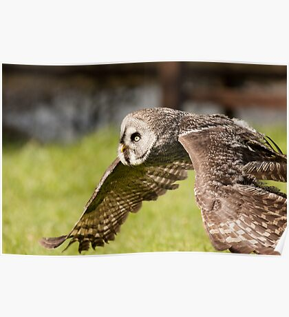 Wide Face Owl in flight Poster