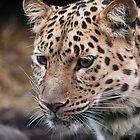 Amur Leopard by Simon Marsden