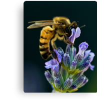 Lavender Bee Canvas Print
