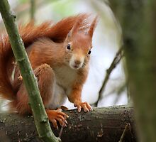 Red Squirrel by Christopher Lloyd