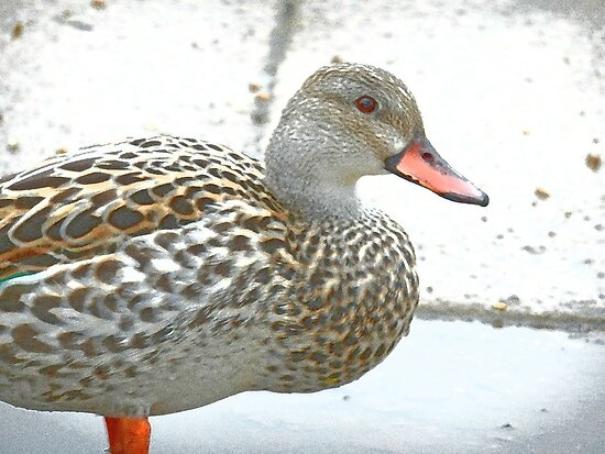 Female Dabbling Duck by CreativeEm