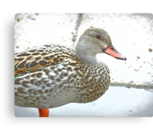 Female Dabbling Duck Canvas Print