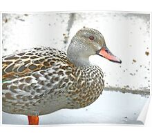 Female Dabbling Duck Poster