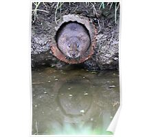 Water Vole Emerging Poster