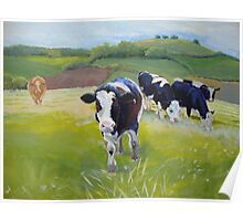 Holstein Friesian Cows in Countryside with hills and hedges Poster