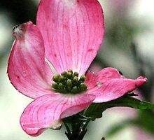 The Vivacious Pink Dogwood by AngieDavies