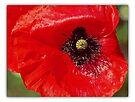 Poppy Love by KatarinaD