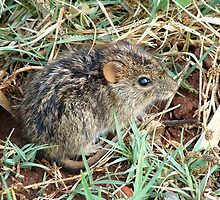 Striped Grass Mouse (Rhabdomys pumilio) by Maree  Clarkson