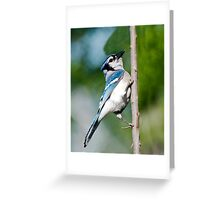 American Blue Jay Greeting Card