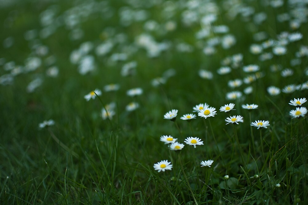 Little white daisies by Anete Bauere