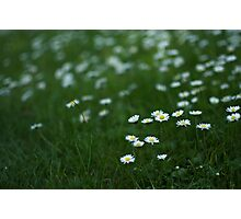 Little white daisies Photographic Print