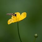 Bug on a yellow flower by Anete Bauere