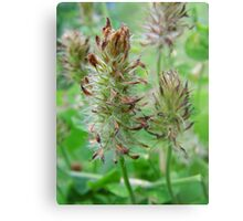 Crimson Clover Gone To  Seed Metal Print