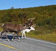 Reindeers  by LifePictures