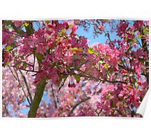 Sweet Cherry Blossoms.  Poster