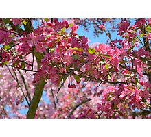 Sweet Cherry Blossoms.  Photographic Print