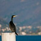 Cormorant by LifePictures