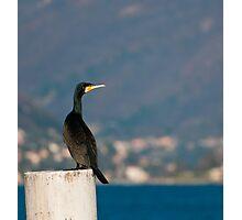 Cormorant Photographic Print