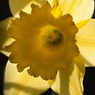 Backlit Daffodil by beardyrob
