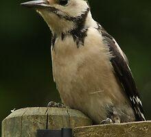 Great Spotted Woodpecker by beardyrob