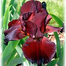 Red Velvet Iris by Christine Lewandowski