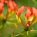 Gloriosa Lily by TheaShutterbug
