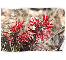 Desert Indian Paintbrush Poster