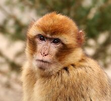 Portrait of A Barbary Macaque by Jo Nijenhuis