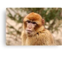 Portrait of A Barbary Macaque Canvas Print