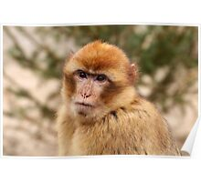 Portrait of A Barbary Macaque Poster