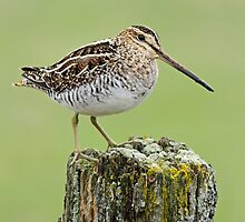 Wilson's Snipe Classic Pose by Bill McMullen