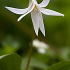 White Trout Lily by Tim Devine