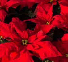 Happy Scarlet Poinsettias Christmas Star Sticker