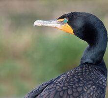 The Double-crested Cormorant  by Roma Czulowska