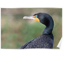 The Double-crested Cormorant  Poster