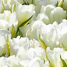 White tulips by Robin Nellist
