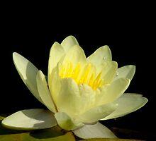 Pond Lily Lightness by Rosanne Jordan