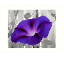 First Morning Glory Bloom Art Print