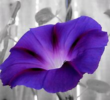 First Morning Glory Bloom by aprilann
