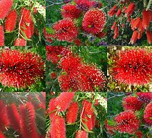 Red Bottlebrush by alycanon