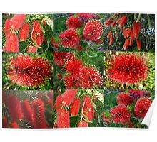 Red Bottlebrush Poster