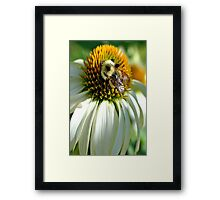 Bumble Bee on Echinacea Framed Print
