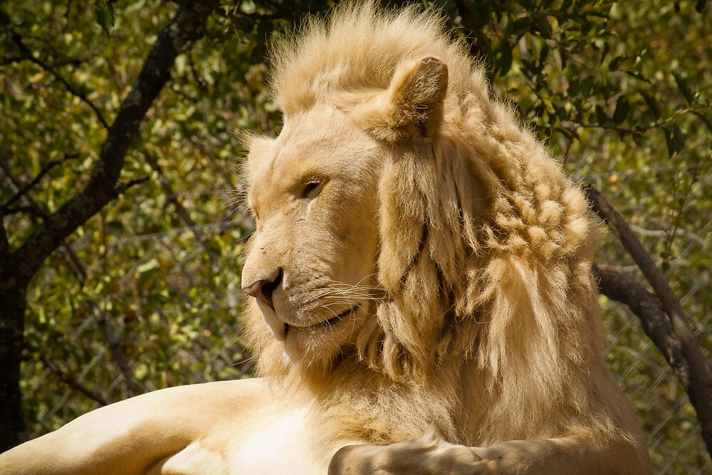 Image Gallery lion side profile
