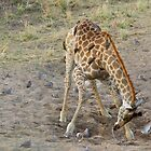 Drinking Giraffe by LSPJS