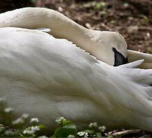 Trumpet Swan Purity by Adam Bykowski
