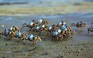 Soldier Crabs by yolanda