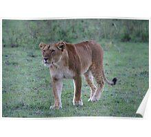 lioness in the Masai Mara, Kenya Poster