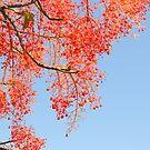 Flame Tree by TheaShutterbug